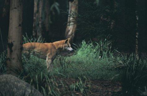 Dingo at Healesville