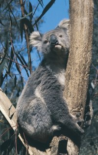Koala Sanctuary at Phillip Island