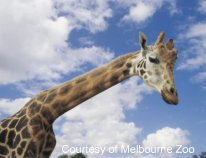 Giraffe at Melbourne Zoo