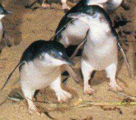 Fairy Penguins of Phillip Island
